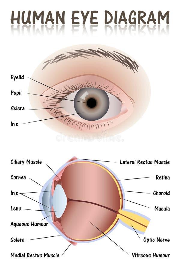 Diagrama do olho humano ilustração royalty free