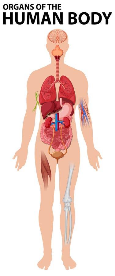 Diagrama dos órgãos do corpo humano ilustração royalty free