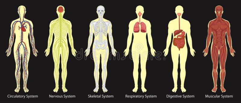 Diagrama dos sistemas no corpo humano ilustração stock