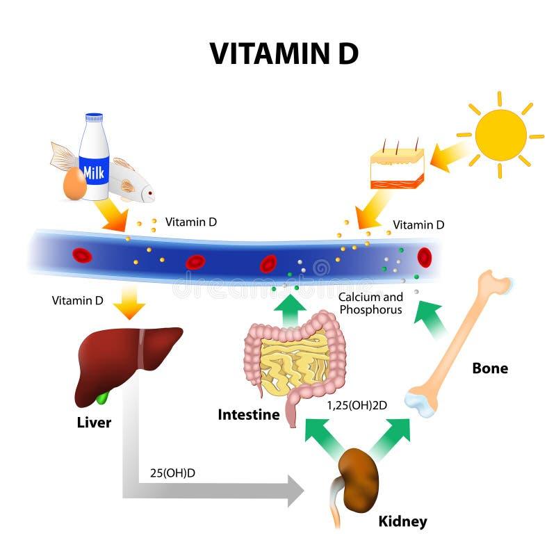 Diagrama esquemático do metabolismo da vitamina D ilustração royalty free