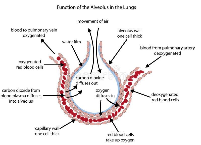 Diagrama etiquetado do alvéolo nos pulmões ilustração stock