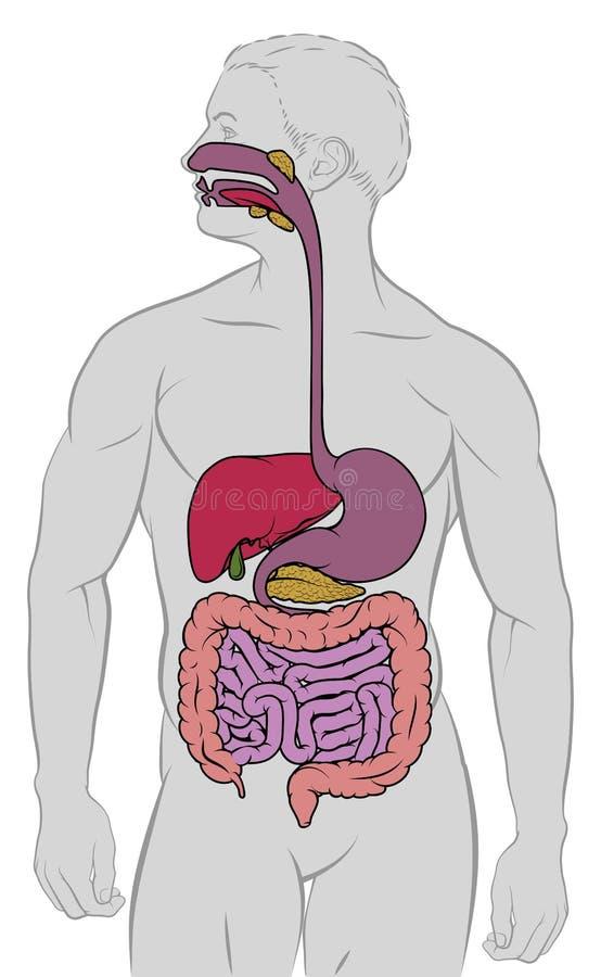 Diagrama gastrintestinal da anatomia do trato digestivo ilustração royalty free