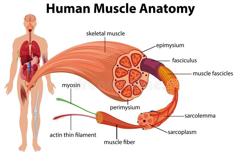 Diagrama humano da anatomia do músculo ilustração stock