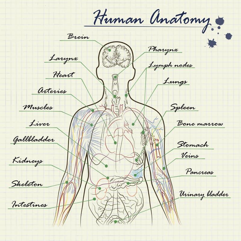 Diagrama Humano De La Anatomía Ilustración del Vector - Ilustración ...