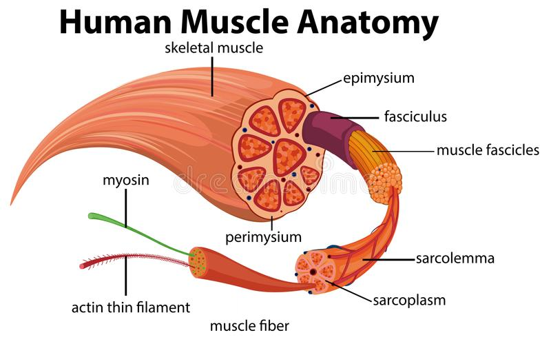 Diagrama humano de la anatomía del músculo stock de ilustración