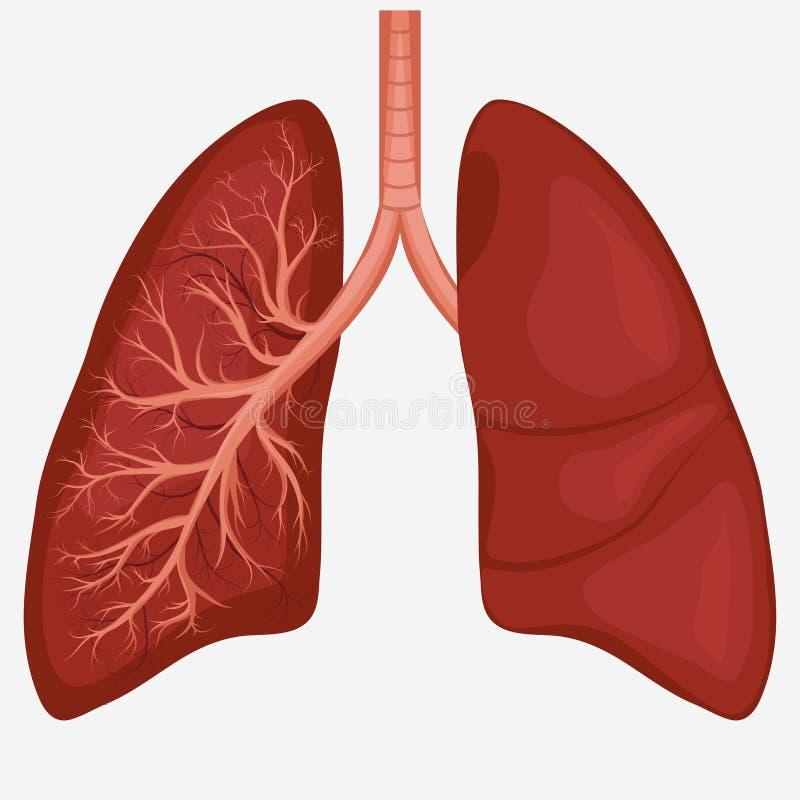 Diagrama humano de la anatomía del pulmón stock de ilustración