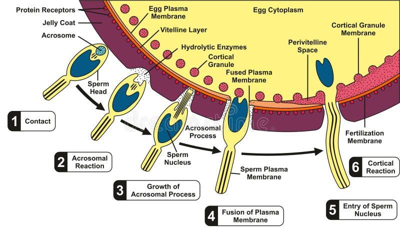 Diagrama humano de la fusión de la esperma y del huevo libre illustration