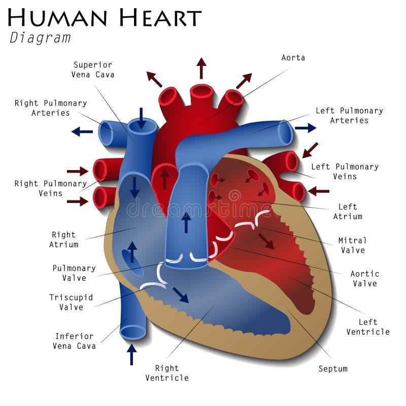 Diagrama humano del corazón stock de ilustración