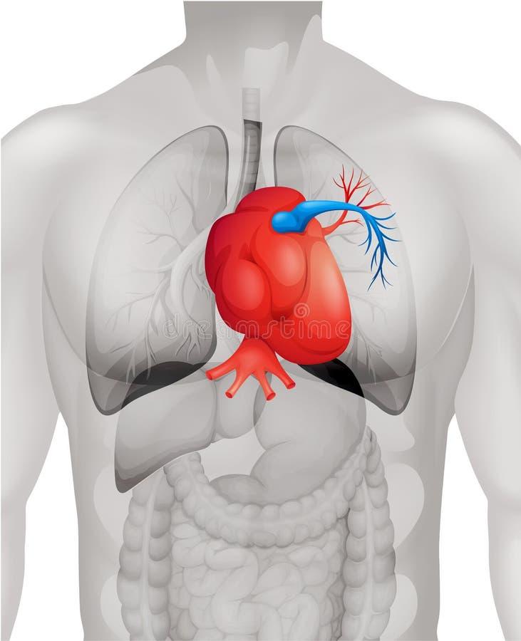 Diagrama humano del corazón detalladamente stock de ilustración