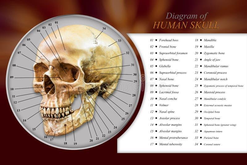 Diagrama humano do crânio imagens de stock