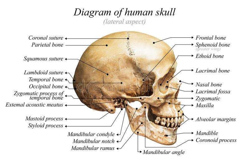 Diagrama humano do crânio fotos de stock royalty free