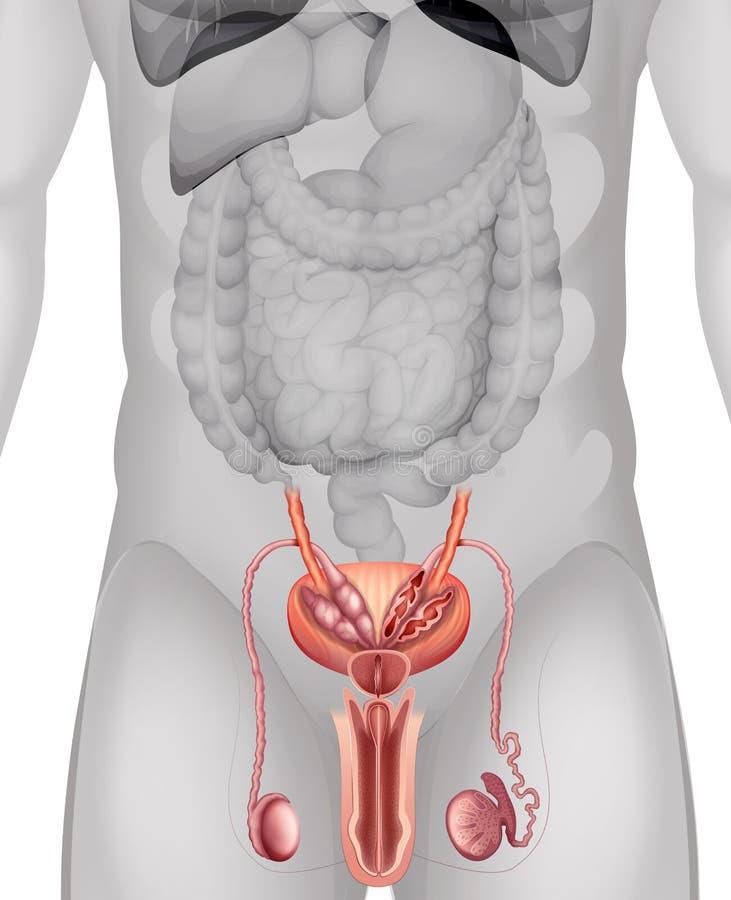Diagrama Masculino De Los órganos Genitales Detalladamente ...