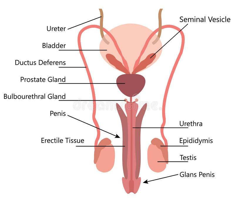 Diagrama Masculino Del Vector Del Sistema Reproductivo Ilustración ...