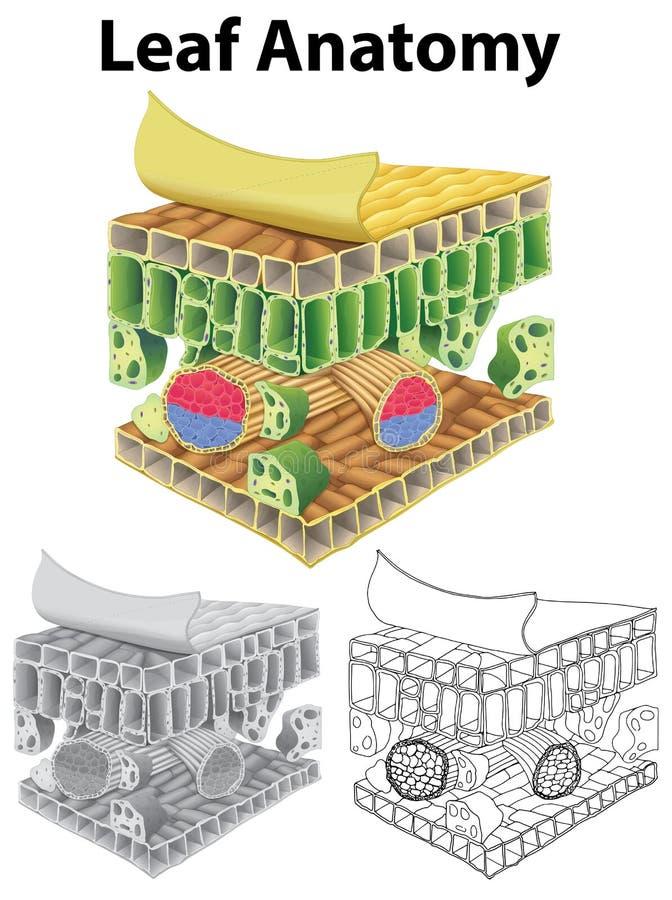 Diagrama que mostra a anatomia da folha em três esboços ilustração royalty free