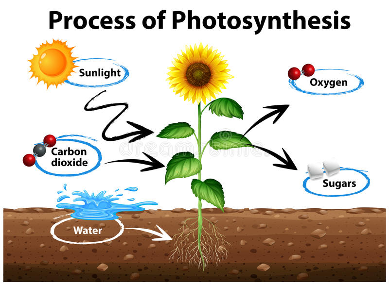 Diagrama que mostra o girassol e o processo de fotossíntese ilustração royalty free