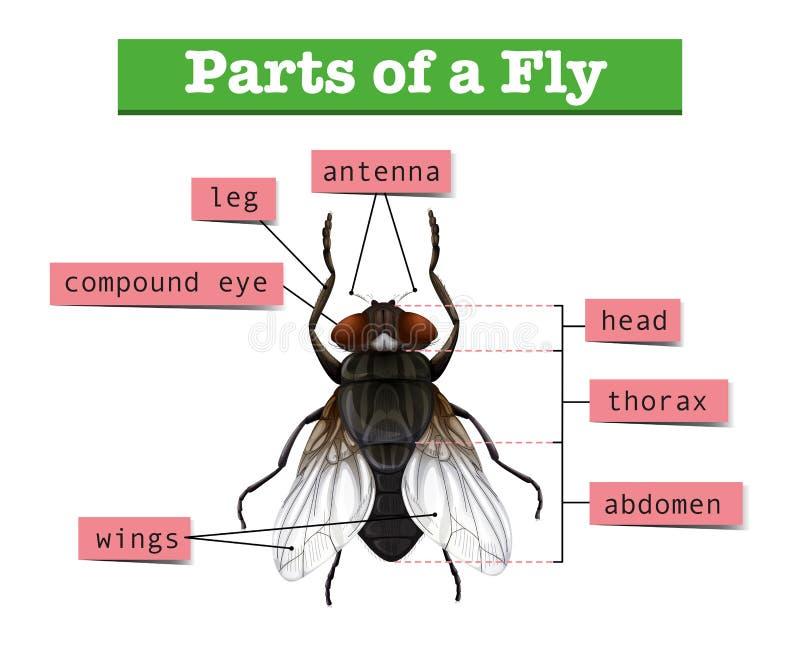 Diagrama que mostra partes da mosca ilustração do vetor