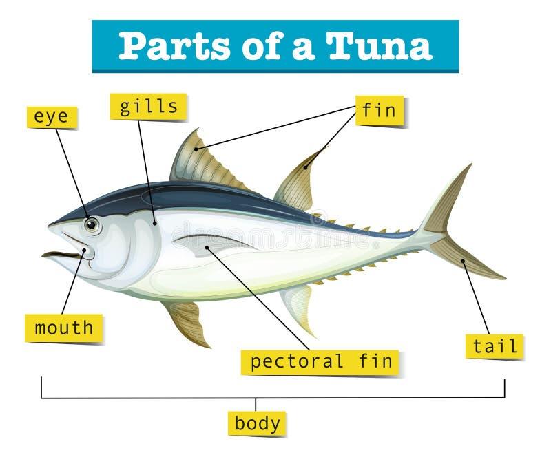 Diagrama que mostra partes diferentes do atum ilustração do vetor