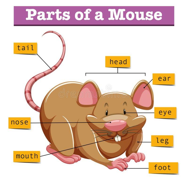 Diagrama que mostra partes do rato ilustração do vetor