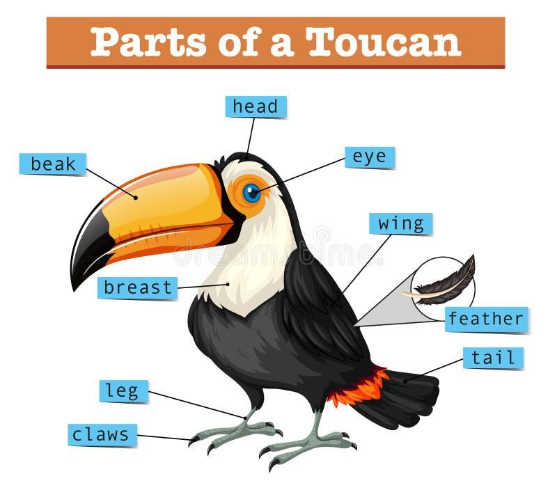 Diagrama que mostra partes do tucano ilustração stock