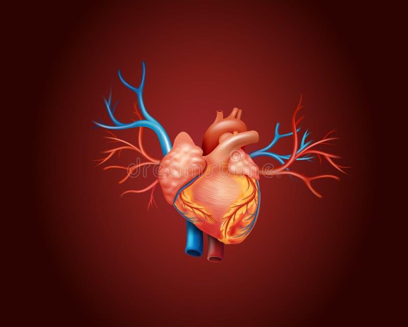 Famoso Diagrama De Marcado Del Corazón Humano Imagen - Imágenes de ...