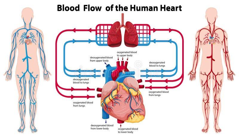 Diagrama que muestra el flujo de sangre del corazón humano ilustración del vector