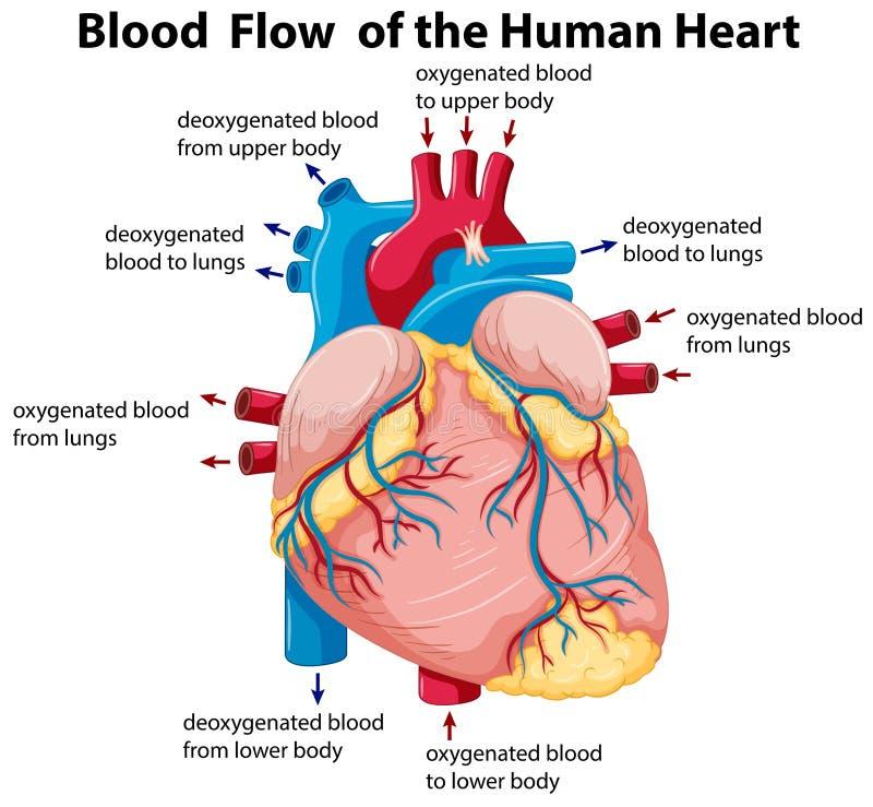 Diagrama que muestra el flujo de sangre en corazón humano stock de ilustración