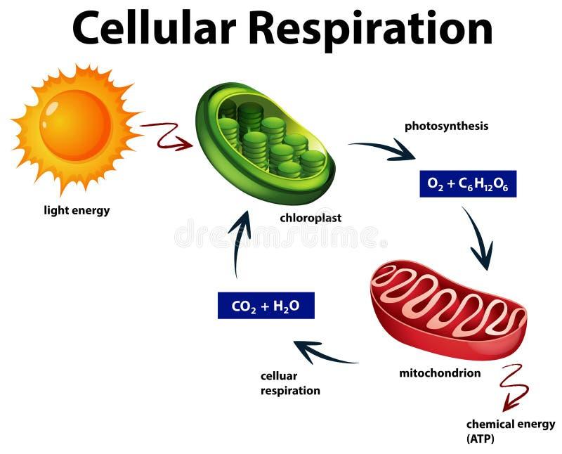 Diagrama que muestra la respiración celular stock de ilustración