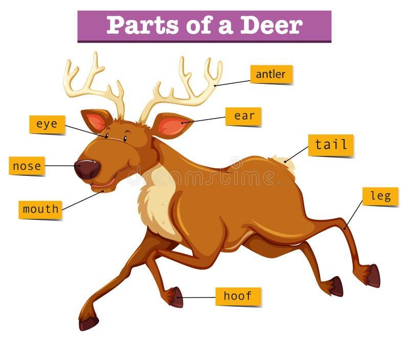 Diagrama que muestra partes de ciervos libre illustration
