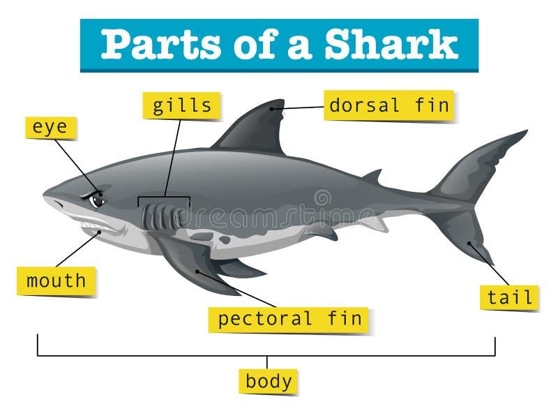 Diagrama Que Muestra Partes Del Tiburón Ilustración del Vector ...