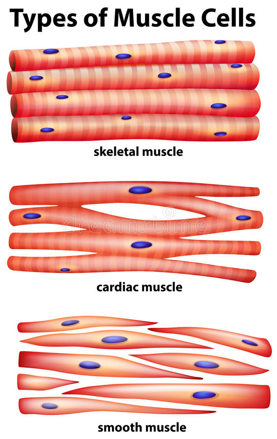 Diagrama que muestra tipos de células musculares ilustración del vector