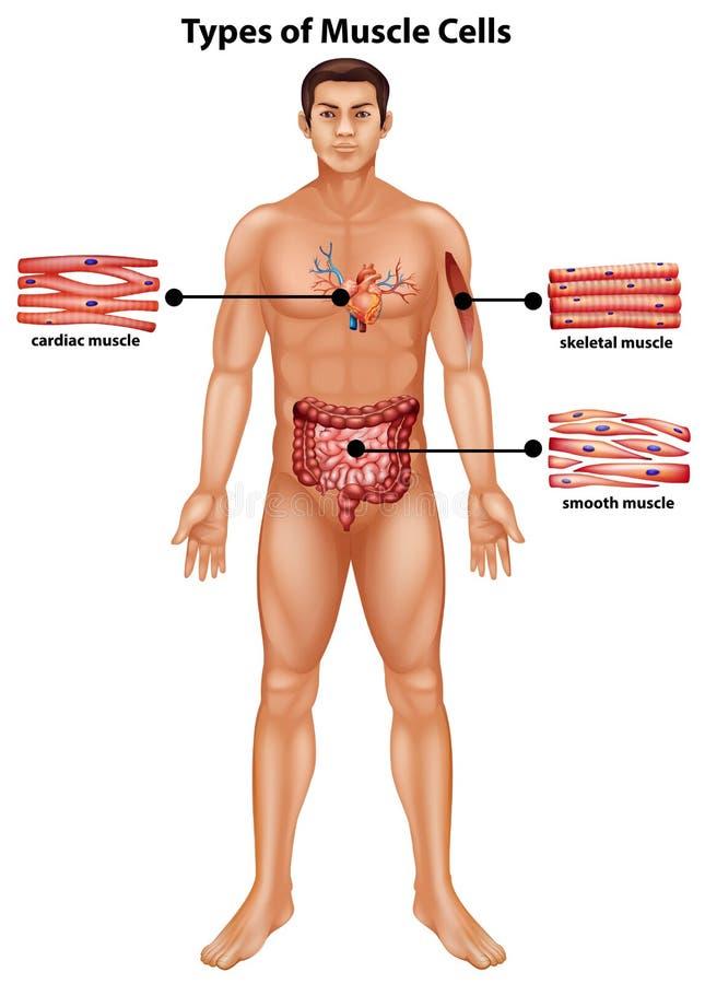 Diagrama Que Muestra Tipos De Células Musculares Ilustración del ...
