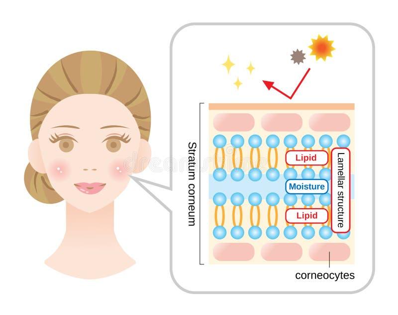 Diagrama sano de la piel con la cara de la mujer estructura del corneum del estrato y estructura laminar, que desempeñan el papel stock de ilustración