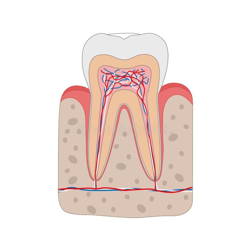 Diagrama sano del diente aislado en el fondo blanco Corte transversal del diente y anatomía del cartel dental médico de la goma ilustración del vector