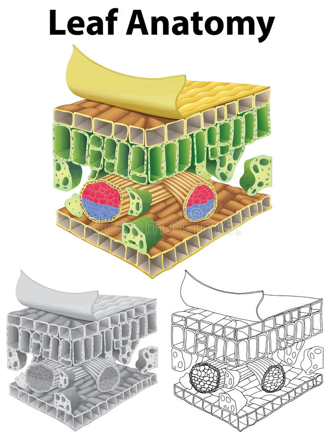 Diagramm, das Blattanatomie in drei Skizzen zeigt lizenzfreie abbildung