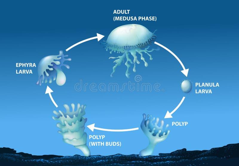Diagramm, das Lebenszyklus von Quallen zeigt lizenzfreie abbildung