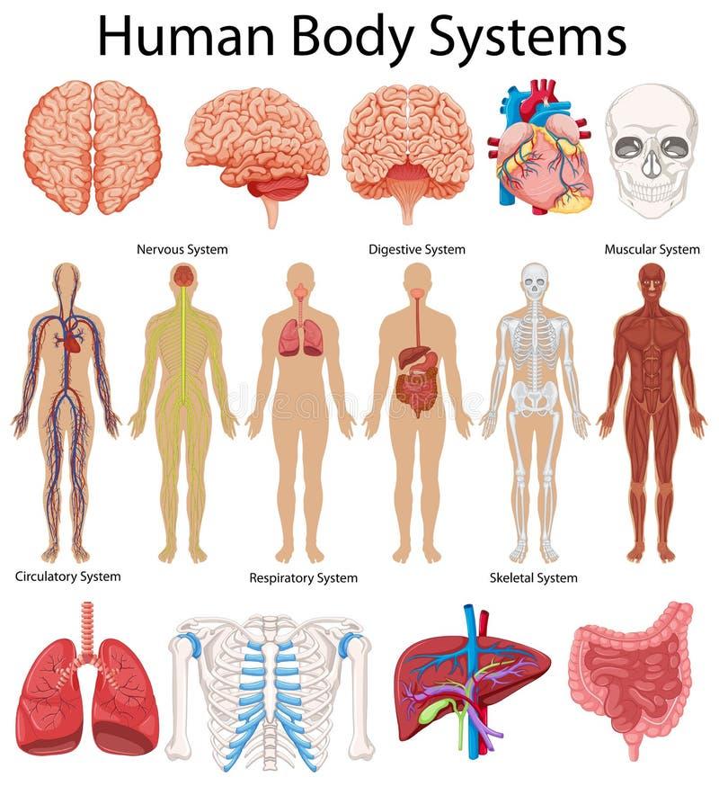 Diagramm, das Systeme des menschlichen Körpers zeigt lizenzfreie abbildung