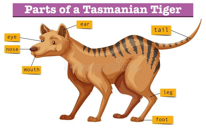 Diagramm, das Teile des tasmanischen Tigers zeigt lizenzfreie abbildung