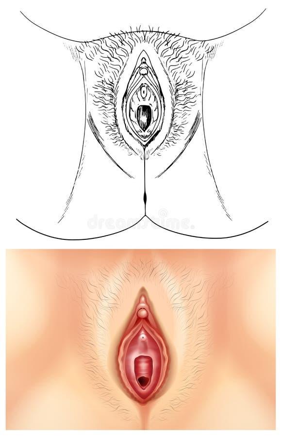 Diagramm, Das Weibliche Vagina Zeigt Vektor Abbildung - Illustration ...