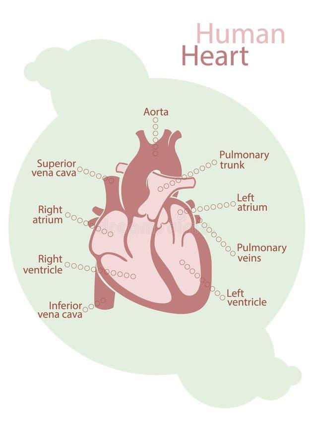 Diagramm Des Menschlichen Herzens Stock Abbildung - Illustration von ...