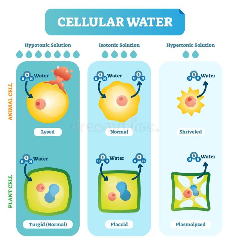 Diagramma biologico dell'illustrazione di vettore dei livelli dell'acqua cellulari con l'animale e la cellula vegetale illustrazione di stock