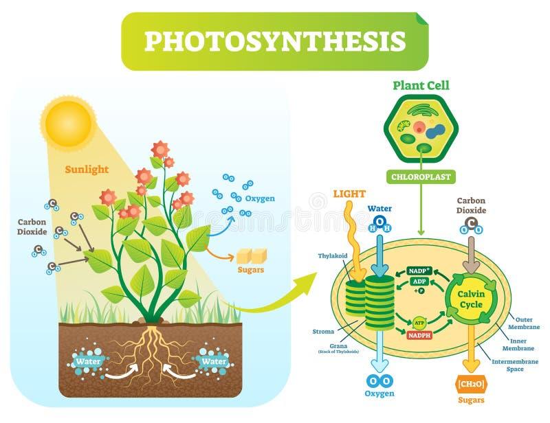 Diagramma biologico dell'illustrazione di vettore di fotosintesi con lo schema delle cellule di piano royalty illustrazione gratis