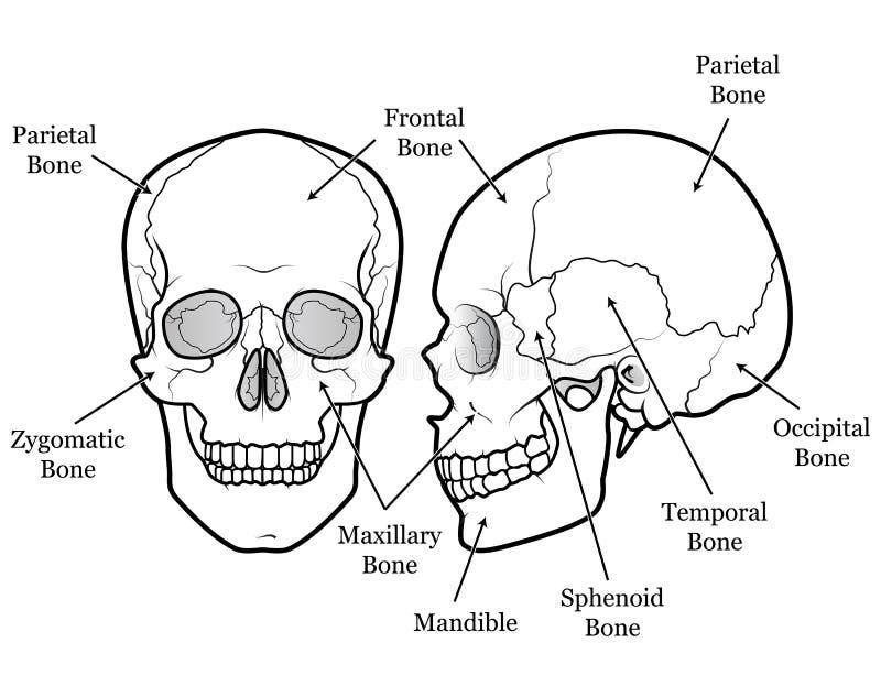 Diagramma del cranio illustrazione vettoriale