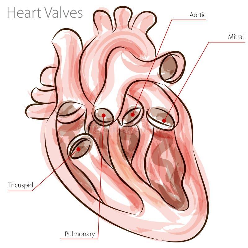 Diagramma dell'acquerello delle valvole di cuore illustrazione di stock