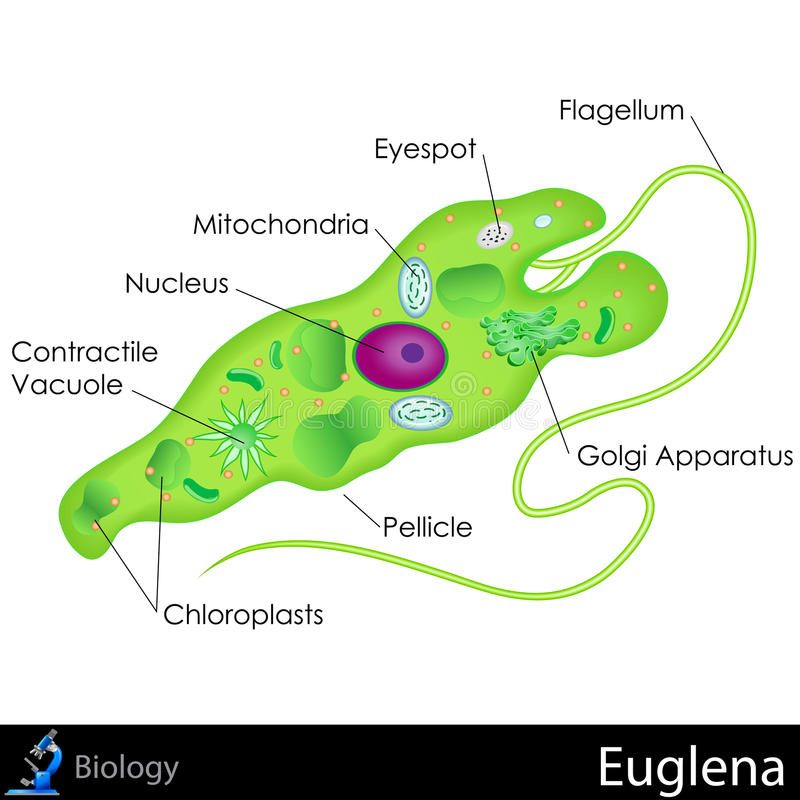 Diagramma dell'euglena illustrazione di stock