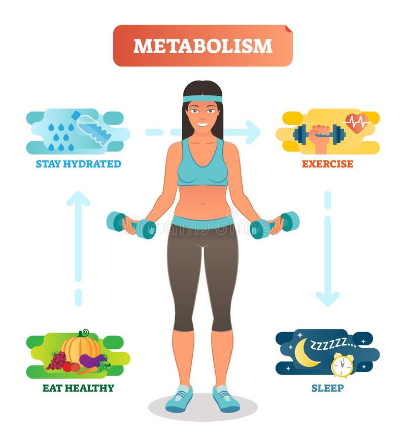 Diagramma dell'illustrazione di vettore di concetto del metabolismo, ciclo biochimico del corpo Mangiando acqua potabile sana e,  illustrazione di stock