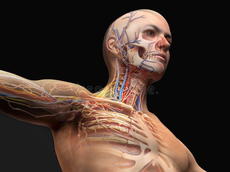 Diagramma di anatomia della testa e del petto dell'uomo con effetto del fantasma illustrazione vettoriale