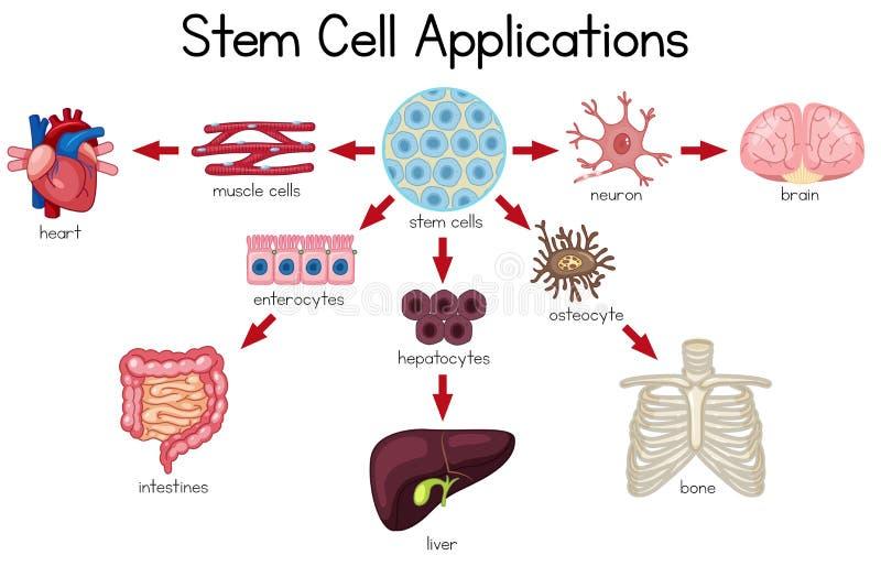 Diagramma di applicazioni della cellula staminale royalty illustrazione gratis
