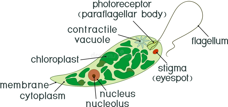 Diagramma di euglena Struttura dei viridis dell'euglena con differenti organelli illustrazione di stock