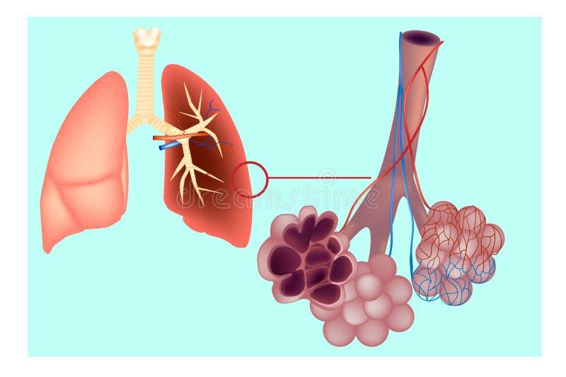 Diagramma le sacche aerifere polmonari dell'alveolo nel polmone illustrazione di stock