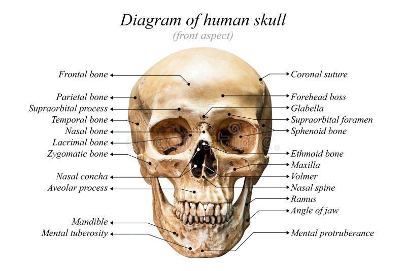 Diagramma umano del cranio fotografia stock libera da diritti